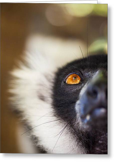 Fauna Greeting Cards - Ruffed Lemur Greeting Card by Hein Welman