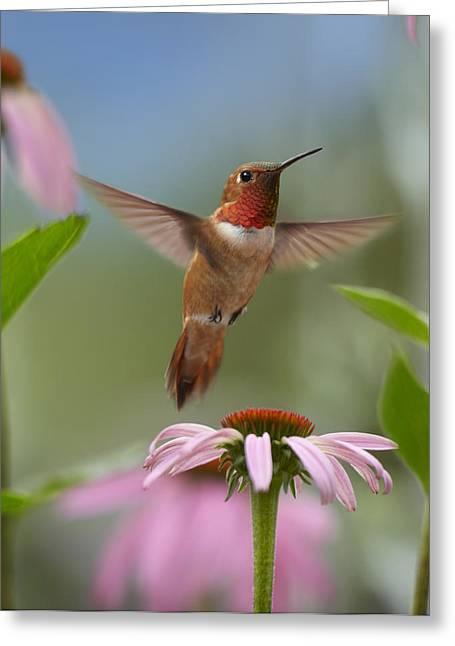Rufus Greeting Cards - Rufous Hummingbird Male Feeding Greeting Card by Tim Fitzharris
