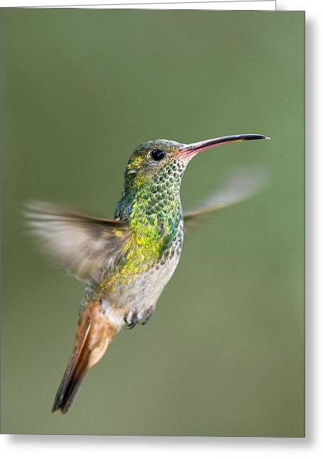 Coloured Plumage Greeting Cards - Rufous-tailed Hummingbird Greeting Card by Tony Camacho