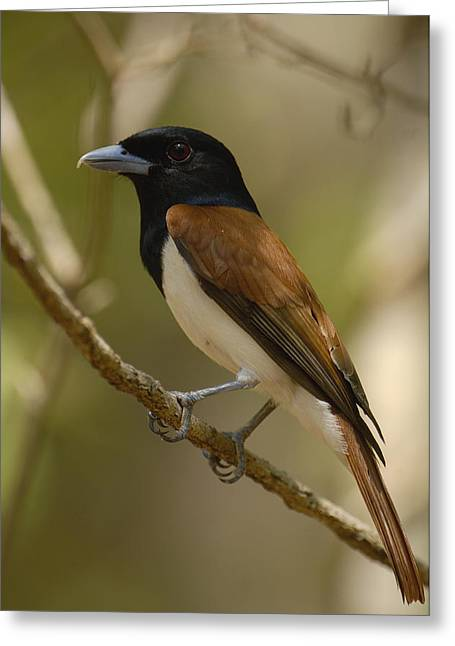 Strict Greeting Cards - Rufous Vanga Schetba Rufa Male Greeting Card by Pete Oxford