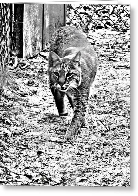 Bobcats Greeting Cards - Rufus the Bobcat Greeting Card by Pamela Iris Harden