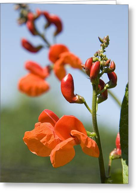 Runner Greeting Cards - Runner Bean (phaseolus Coccineus) Greeting Card by Sheila Terry