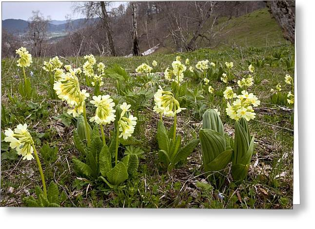 Ss Unites States Greeting Cards - Ruprechts Primula (primula Ruprechtii) Greeting Card by Bob Gibbons