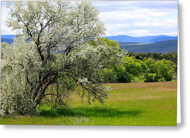 Magnoliopsida Greeting Cards - Russian Olive Greeting Card by Karon Melillo DeVega
