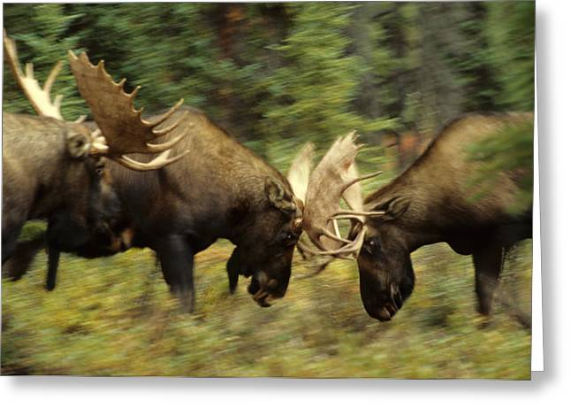 Sparring Greeting Cards - Rutting Bull Moose Fighting Greeting Card by Michael S. Quinton