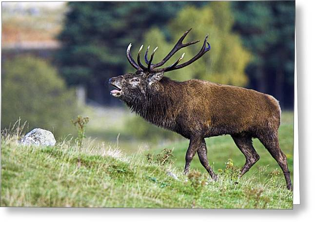 Mating Season Greeting Cards - Rutting Red Deer Stag Greeting Card by Duncan Shaw