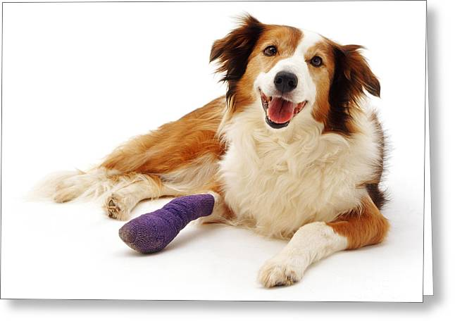 Sable Border Collie Lark With Bandaged Greeting Card by Jane Burton