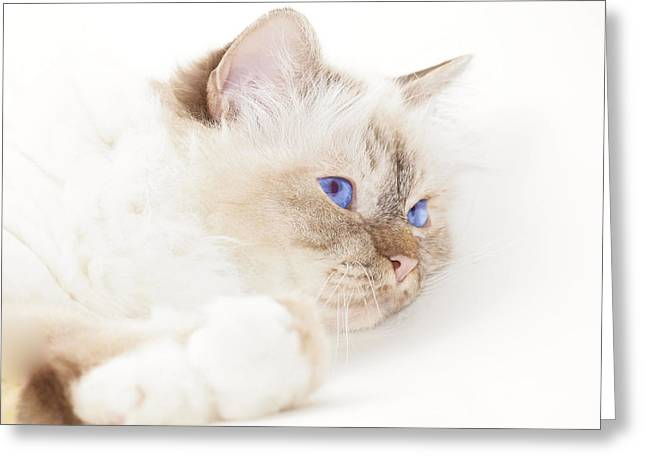 Breeds Digital Art Greeting Cards - Sacred Cat of Burma Greeting Card by Melanie Viola