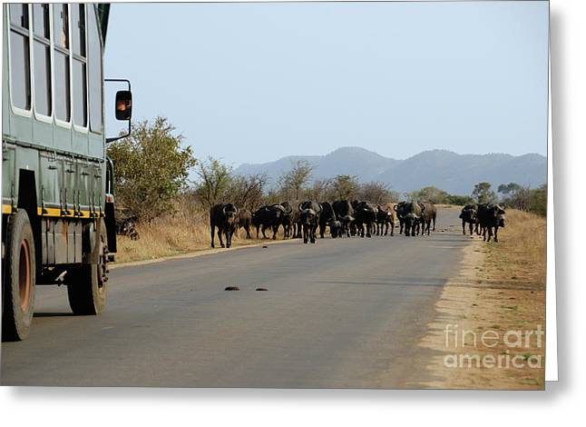 Large Blocks Of Color Greeting Cards - Safari truck stopped by a herd of African buffaloes Greeting Card by Sami Sarkis