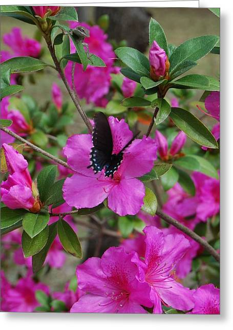 Butterfly Prey Greeting Cards - Safe Landing Greeting Card by Judy Hall-Folde