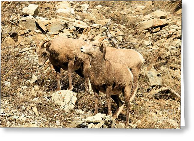 Sheep On Rocks Greeting Cards - Safety In Numbers Greeting Card by Adam Jewell