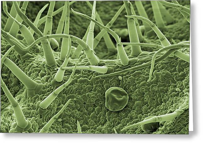 Trichome Greeting Cards - Sage Leaf Trichomes, Sem Greeting Card by Peter Bond, Em Centre, University Of Plymouth