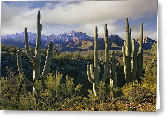 Catalina Mountains Greeting Cards - Saguaro Cacti And Santa Catalina Greeting Card by Tim Fitzharris