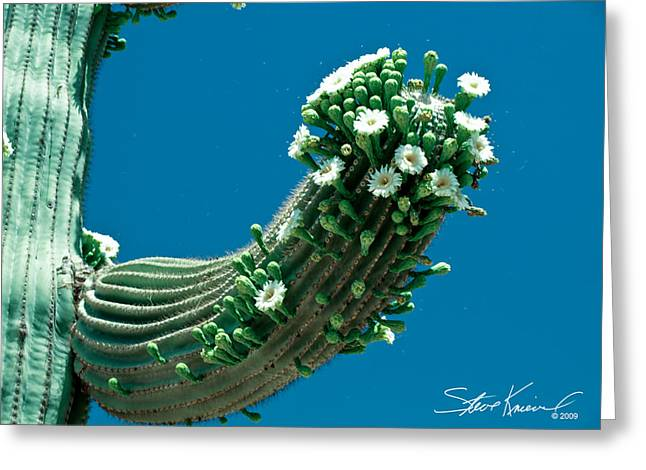 Steve Knievel Greeting Cards - Saguaro Cactus Blooms   Greeting Card by Steve Knievel