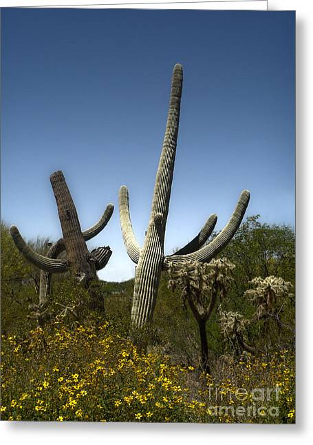 Saguaro Cactus Greeting Card by Gregory Dyer