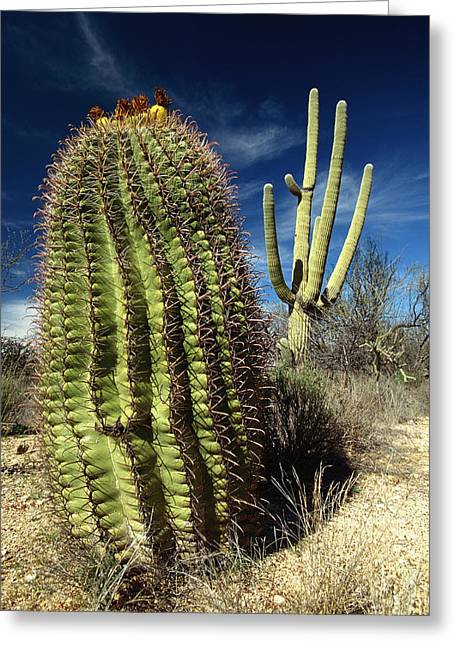 Fishhook Greeting Cards - Saguaro Carnegiea Gigantea Greeting Card by Gerry Ellis