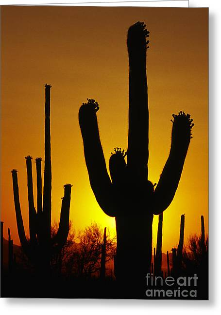 Out West Greeting Cards - Saguaro Sunset Greeting Card by Sandra Bronstein