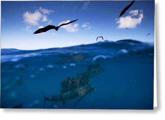 Ocean Images Photographs Greeting Cards - Sailfish And Frigate Birds Hunt Greeting Card by Paul Nicklen
