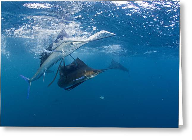 Mujeres Greeting Cards - Sailfish Change Colors When Greeting Card by Paul Nicklen