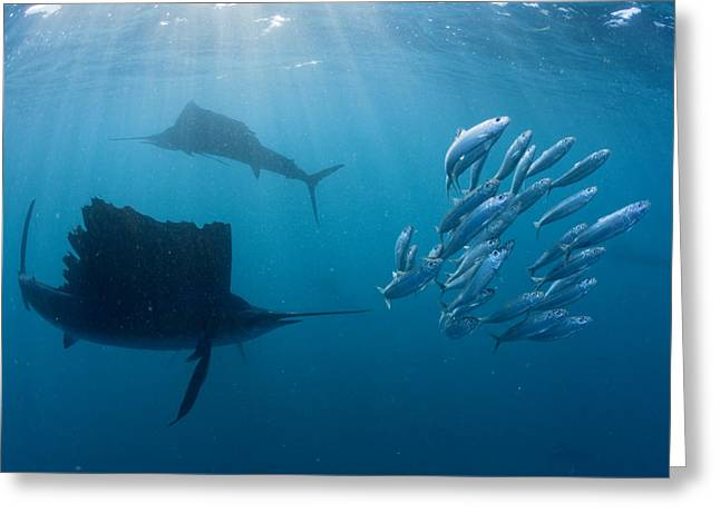 School Of Sardine Greeting Cards - Sailfish Circle A Cluster Of Sardines Greeting Card by Paul Nicklen