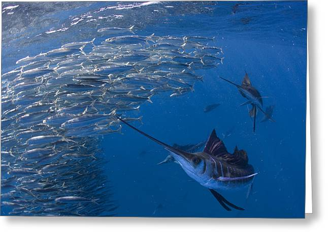 Best Sellers -  - Cooperation Greeting Cards - Sailfish Hunt Sardines Using Greeting Card by Paul Nicklen
