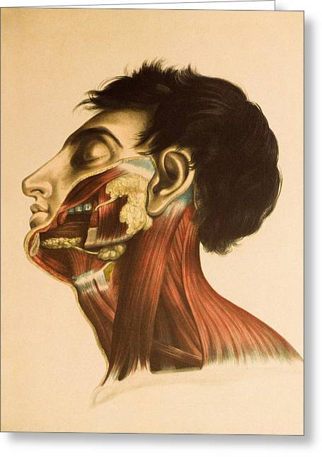 Historical Images Greeting Cards - Salivary Glands Greeting Card by Mehau Kulyk
