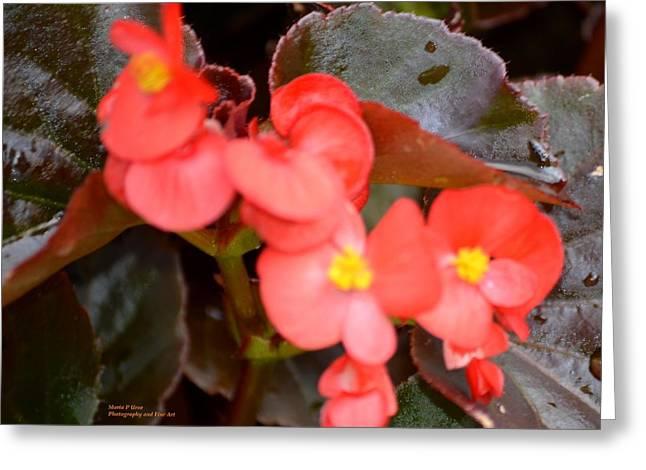 Salmon Begonia Greeting Card by Maria Urso