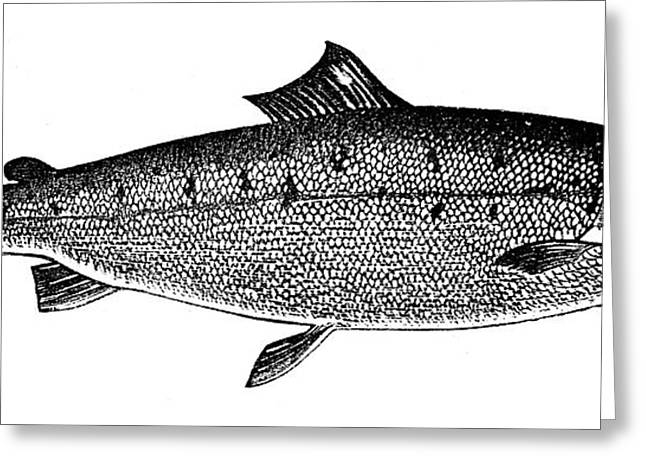 Salmon Greeting Card by Granger
