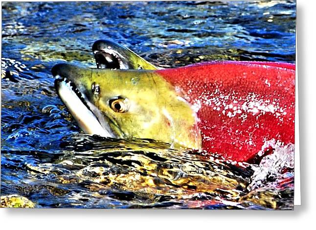 West Fork Digital Greeting Cards - Salmon Struggles Greeting Card by Don Mann
