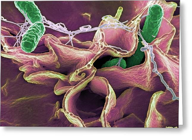 Salmonella Bacteria, Sem Greeting Card by Niaidcdc