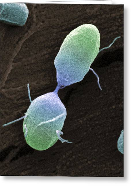 Microbiological Greeting Cards - Salmonella Bacterium Dividing, Sem Greeting Card by Steve Gschmeissner
