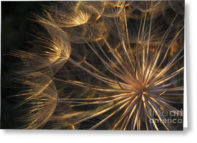 Floral Structure Greeting Cards - Salsify Seed Head Greeting Card by Richard Garvey-Williams