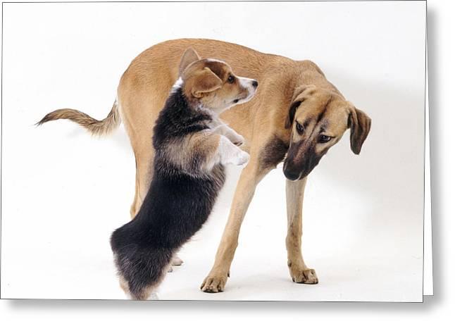 Lurcher Greeting Cards - Saluki Lurcher And Welsh Corgi Puppy Greeting Card by Jane Burton