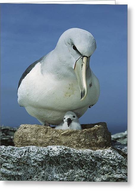 Mud Nest Greeting Cards - Salvins Albatross Thalassarche Salvini Greeting Card by Tui De Roy
