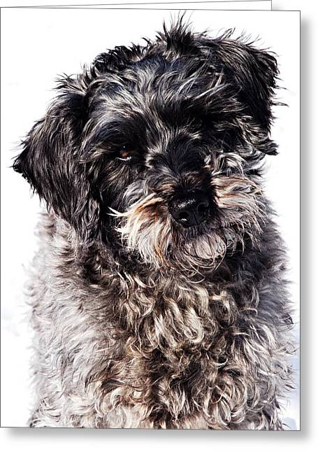 Cute Schnauzer Greeting Cards - Sammy Greeting Card by Larry Ricker