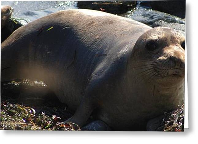 Elephant Seals Greeting Cards - Sammy  Greeting Card by Susan Dinkins