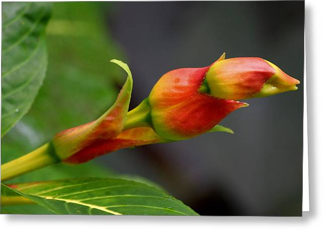 Nobilis Greeting Cards - Sanchezia Nobilis Greeting Card by Tropical Ties Dominica
