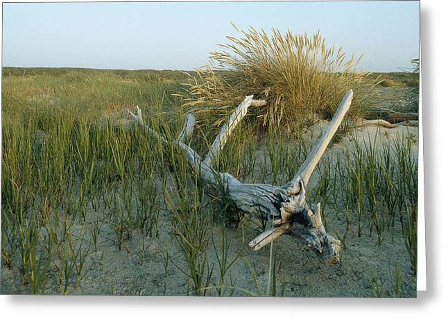 Refuges And Reserves Greeting Cards - Sand Marsh Grasses And Driftwood Greeting Card by Norbert Rosing