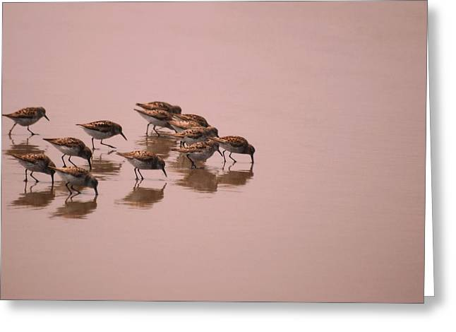 Sand Piper Greeting Cards - Sand Pipers Dance Greeting Card by Laura Mountainspring
