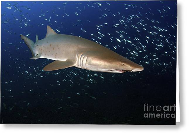 Spadefish Greeting Cards - Sand Tiger Shark Off The Coast Of North Greeting Card by Karen Doody