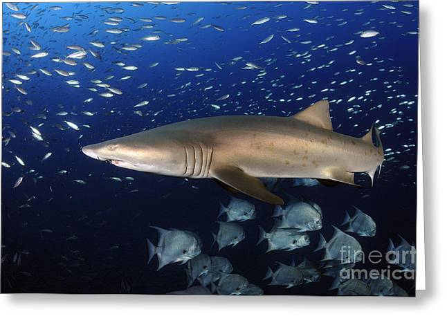 Spadefish Greeting Cards - Sand Tiger Shark Swimming In Blue Water Greeting Card by Karen Doody