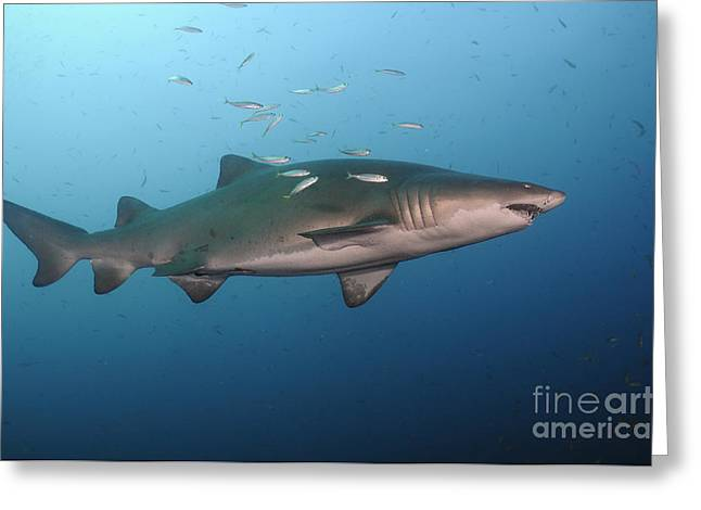 The Tiger Greeting Cards - Sand Tiger Shark Swims In Blue Water Greeting Card by Karen Doody