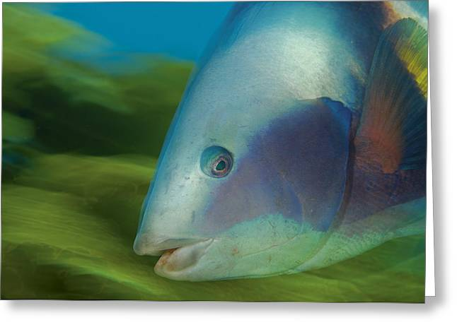 Outdoor Images Greeting Cards - Sandagers Wrasse Attract Divers To Poor Greeting Card by Brian J. Skerry