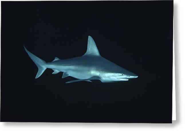 White Shark Greeting Cards - Sandbar Shark Carcharhinus Plumbeus Greeting Card by Flip Nicklin
