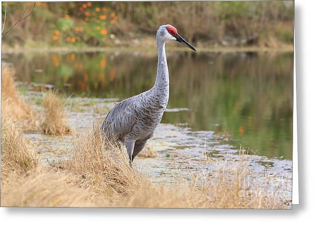 Sandhill Cranes Greeting Cards - Sandhill Crane Beauty by the Pond Greeting Card by Carol Groenen