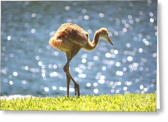 Sandhill Crane Chick Greeting Cards - Sandhill Crane Daydreamer Greeting Card by Carol Groenen