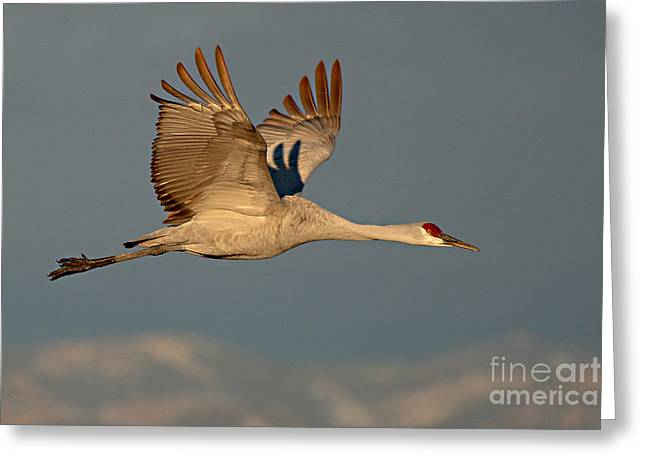 Sandhill Crane Greeting Cards - Sandhill Crane Flying Above The Mountains Of New Mexico Greeting Card by Max Allen