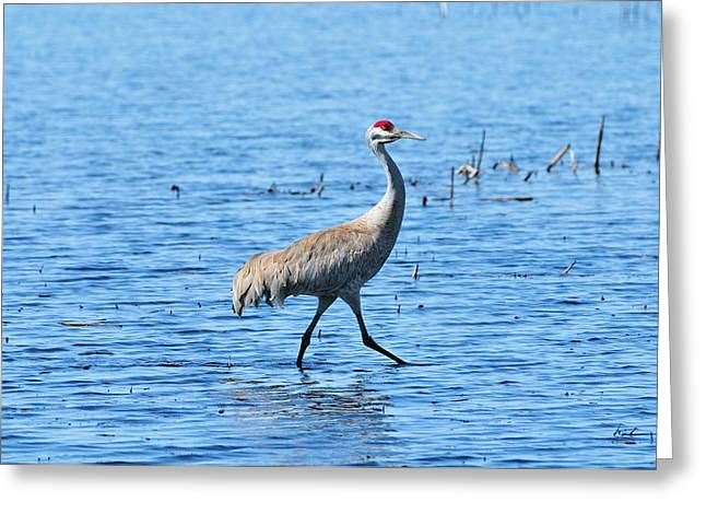 Yellowstone Wildlife Greeting Cards - Sandhill Crane Greeting Card by Greg Norrell