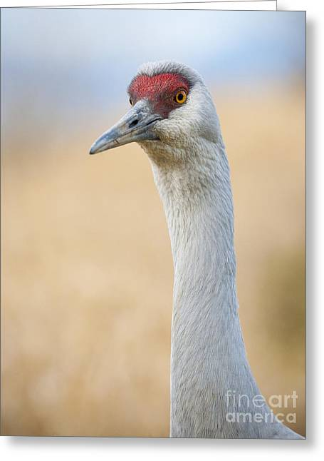 Sandhill Cranes Greeting Cards - Sandhill Crane II Greeting Card by Chris Dutton
