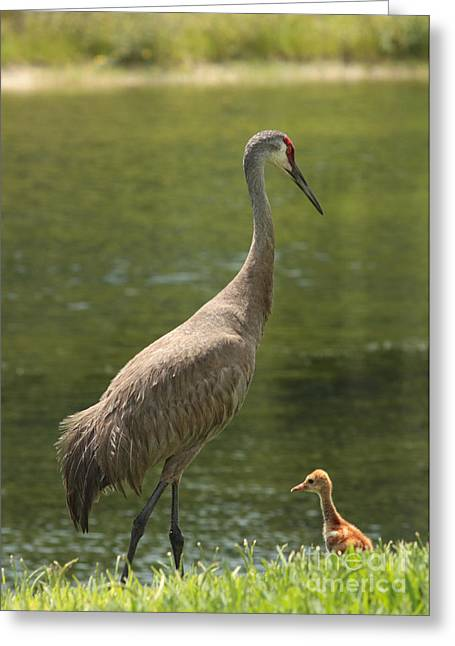 Baby Bird Greeting Cards - Sandhill Crane with Baby Chick Greeting Card by Carol Groenen